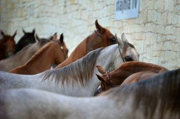 Validation batches of the vaccine against equine strangles Strangvac is completed